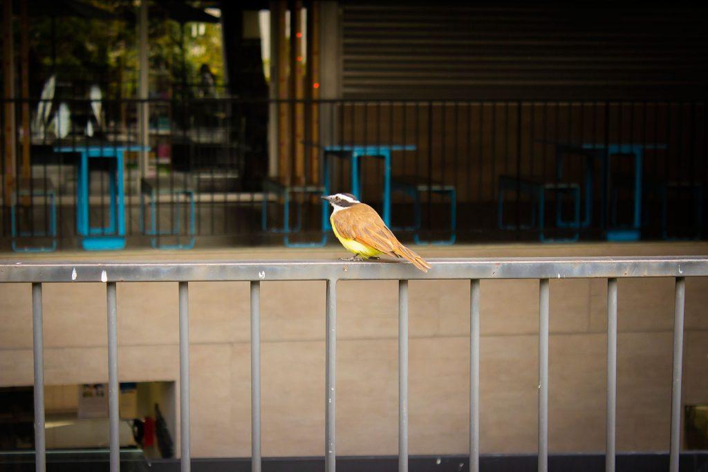 欄干に留まるキバラオオタイランチョウ