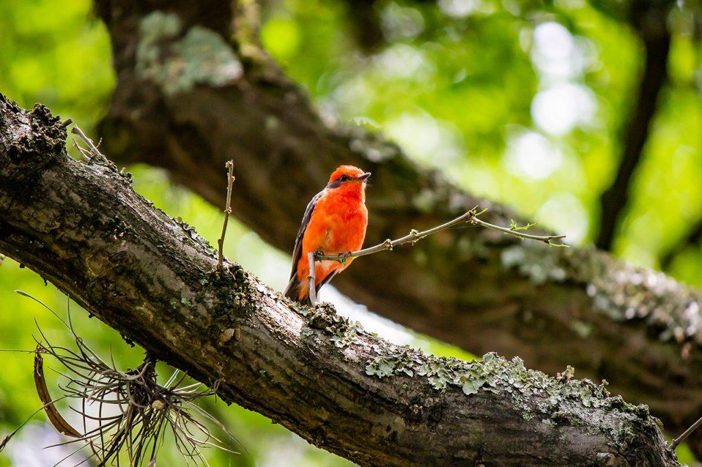 「Petirrojo(ペティロホ)」という鳥